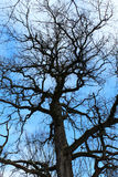 Bare tree against the blue sky Stock Images