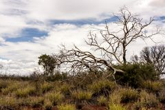 Bare tree in Australian desert, outback in Northern Territory, Australia stock photography