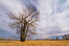 Bare Tree in Autumn Royalty Free Stock Image