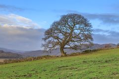 A Bare Tree. In winter, in the Lake District National Park Stock Images