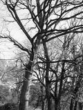 Bare Tree in Black and White in spring light Royalty Free Stock Photo