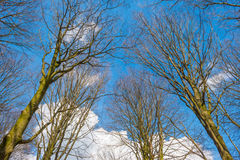 Bare tree in a blue cloudy sky Stock Images