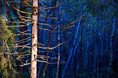 Bare tree in blue forest Stock Image