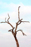 Bare Tree. A bare tree with blue sky in the background Royalty Free Stock Photo