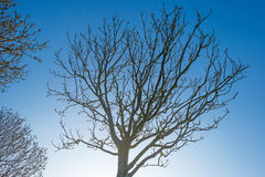 Bare tree in a blue  sky in spring Royalty Free Stock Photography