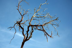 Bare tree branch Royalty Free Stock Image