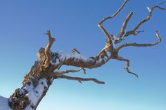 Bare Tree Branch, with Snow. Royalty Free Stock Images