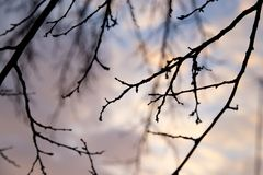Bare tree branches against the sky at sunset.  Royalty Free Stock Photography