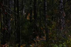 Dark forest. Bare tree branches in aun forest royalty free stock photos