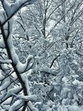 Bare Tree Branches Covered in Snow. After a Blizzard in Colorado, USA royalty free stock image