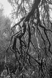 Bare tree branches in a dense forest as a black and white photo. Madeira, Portugal stock photography