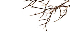 Bare tree branches with isolated white background. beautiful natural withered leafless twig woody plant shape.  stock photo