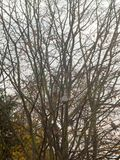 Bare tree branches in overcast autumn sky with birds perched. Essex; england; uk Stock Photos