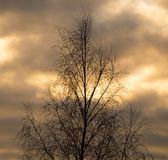 Bare tree branches in the rays of the sunset Royalty Free Stock Photo