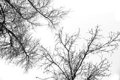 Bare tree branches on a white sky Stock Photography