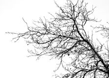 Bare tree branches on a white sky Royalty Free Stock Photo