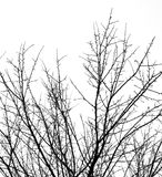 Bare tree branches on a white sky Royalty Free Stock Image