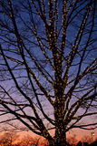Bare Tree with Christmas Lights at Dusk Stock Photography