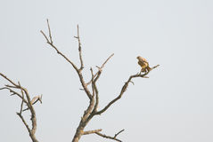 Bare tree and common kestrel Stock Photo