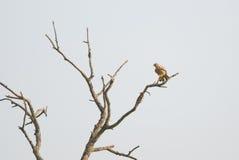 Common kestrel. Sitting on a bare tree Stock Photo