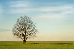 Bare tree in countryside. Bare Autumnal tree in green countryside field under cloudscape Stock Image