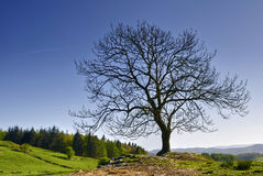 Bare tree in countryside Royalty Free Stock Images