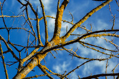 Bare tree covered with moss Stock Photography