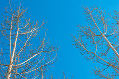 Bare tree crowns Royalty Free Stock Photography