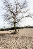 Bare tree in dunes of drifting sands Stock Photos