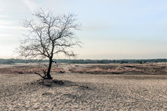 Bare tree in dunes of drifting sands Stock Image