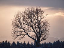 Bare Tree at Dusk Stock Photography
