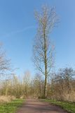 Bare tree in dutch wood landscape Stock Photography