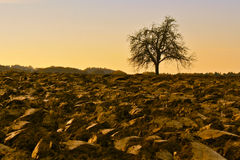 Bare Tree on Field in Fall. Silhouette of bare tree on freshly ploughed field in fall Stock Image