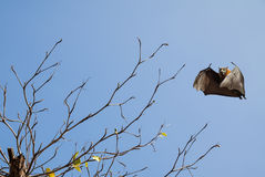 Bare tree with flying fox. Halloween background with flying fox over blue sky background Stock Images