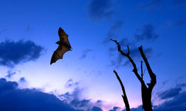 Bare tree with flying fox over night sky. Halloween background with flying bat over cloudy sky background Royalty Free Stock Photos