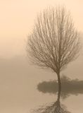Bare Tree in Fog at Dawn Stock Image