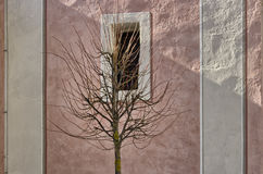 Bare tree in front of white bordered square window. Bare branches tree in front of white bordered square window on pink ancient wall Royalty Free Stock Photos