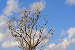 Bare tree full of cormorant nests - Phalacrocoracidae. Bare tree full of nests of cormorants with chicks- Phalacrocoracidae royalty free stock images