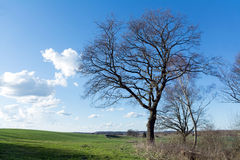 Bare tree on a green field against blue sky with clouds Royalty Free Stock Photo