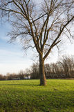 Bare tree in a green grass field Stock Photography