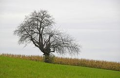 Naked tree on a slope. Bare tree on a green sloped pasture with a cornfield in the background Stock Photography