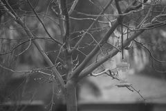 Bare tree with hummingbird feeder on rainy day in black and white Stock Photography