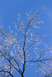 Bare tree with ice crystals Royalty Free Stock Image