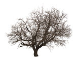 Bare Tree Isolated Over White Royalty Free Stock Image