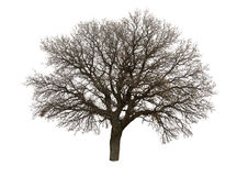 Bare Tree Isolated Over White Stock Photos