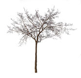 Bare tree isolated over white Stock Photography