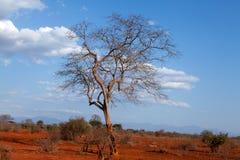 Bare tree in Kenya, Africa. Bare tree in red  Ngulia Rhino Sanctuary Kenya Stock Image