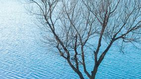 Bare tree by the lake. Bare tree on the background of blue rippled lake in springtime stock video footage