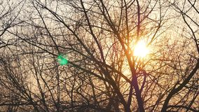 Bare tree without leaves on a background of shining sun at sunset stock video footage
