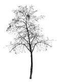Bare tree without leaves. deciduous tree. Stock Images